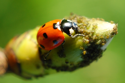 Coccinella septempunctata, 7-spot ladybird