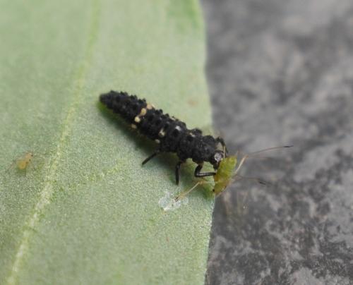 Hippodamia Tredecimpunctata, 13-spot ladybird